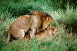 mating Lion, Africa, AMFV01P11_05