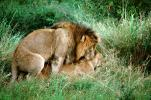 mating Lion, Africa, AMFV01P11_06