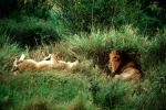 mating Lion, Africa, AMFV01P11_07
