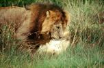 mating Lion, Africa, AMFV01P11_11