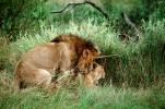 mating Lion, Africa, AMFV01P11_12