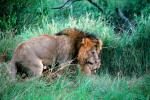 mating Lion, Africa, AMFV01P11_14