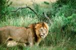 mating Lion, Africa, AMFV01P11_15