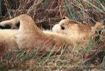 mating Lioness, Africa, AMFV01P11_18B
