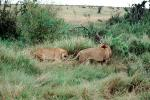 mating Lion and Lioness, Africa, AMFV01P12_05