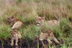 Lion, female, cub, Africa, AMFV02P04_07.0494