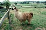 Llama, (Lama glama), Valley Ford, Sonoma County, California