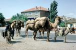 Camel and  a Mule, Donkey, Istanbul, Turkey