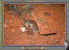 Rock Wallaby, Nocturnal, AMMV01P01_14