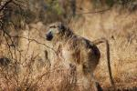Baboon, Africa, AMPD01_011