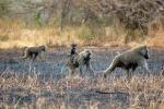 Baboon, Africa, AMPD01_024