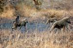 Baboon, Africa, AMPD01_025