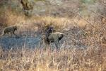 Baboon, Africa, AMPD01_026