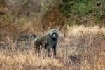 Baboon, Africa, AMPD01_028