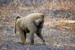 Baboon, Africa, AMPD01_032