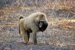 Baboon, Africa, AMPD01_033