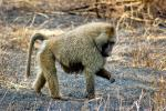 Baboon, Africa, AMPD01_035