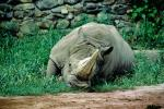 A Rhinoceros at Rest, Horn