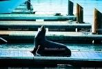 Pier-39, sea lion, Harbor Seals, docks, AOSV01P05_01
