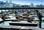 Pier-39, sea lion, Harbor Seals, docks, AOSV01P05_05