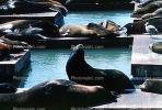 Pier-39, sea lion, Harbor Seals, docks, AOSV01P05_08