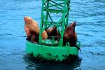 Seals basking on a Navigation Buoy in Alaska