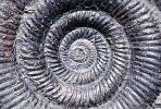 Ammonite, Ammonoid, extinct mollusks with chambered external shells that are distantly related to living Nautilus, APCV01P01_03B