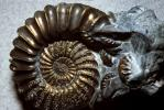 Ammonite, Ammonoid, extinct mollusks with chambered external shells that are distantly related to living Nautilus, APCV01P02_13