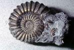 Ammonite, Ammonoid, extinct mollusks with chambered external shells that are distantly related to living Nautilus, APCV01P03_02