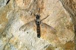 March fly, 210 million years old, APIV01P01_15
