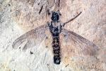 March fly, 210 million years old, APIV01P01_15B