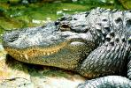 American Alligator, (Alligator mississippiensis), Crocodylia, Alligatoridae, ARAV01P08_05
