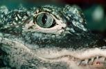 Chineses Alligator, (Alligator sinensis), Alligatoridae, ARAV01P10_11