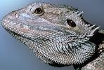 Bearded Dragon, (Pogona vitticeps), Lacertilia, Agamidae, ARLV01P05_19B.1712