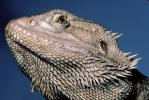 Bearded Dragon, (Pogona vitticeps), Lacertilia, Agamidae, ARLV01P06_04