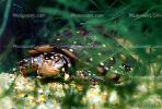 Spotted Turtle, (Clemmys guttata), Emydidae, Emydinae, Freshwater, ARTV01P03_09