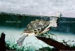 Red Eared Slider, (Trachemys scripta), Emydidae, Turtle, freshwater, ARTV01P03_16