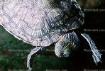 Red Eared Slider, (Trachemys scripta), Emydidae, Turtle, freshwater, ARTV01P03_18