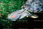 Red Eared Slider, (Trachemys scripta), Emydidae, Turtle, freshwater, ARTV01P03_19