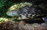 Red Eared Slider, (Trachemys scripta), Emydidae, Turtle, freshwater, ARTV01P04_01