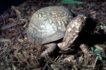 Box Turtle, (Terrapene carolina), Emydidae