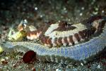 Fire Worm (Eurythoe complanata), Aquatic