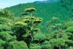 Manicured Tree, bush, garden, Gotemba