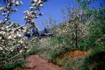 Blossoms, Trees, Orchard, Dirt Road, Home, House, May 1959, 1950s, unpaved, CEFV07P02_13