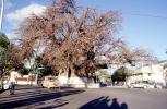 Baobab Tree, curly, twisted, cars, road, shadow, Adansonia, CKDV01P04_08