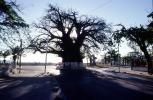Baobab Tree, curly, twisted, cars, road, shadow, Adansonia, CKDV01P04_10