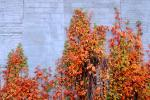 Ivy, fall colors, Autumn, Vegetation, Flora, Plants, Wall, Exterior, Outdoors, Outside, CMMV01P06_02.0897