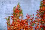 Ivy, fall colors, Autumn, Vegetation, Flora, Plants, Wall, Exterior, Outdoors, Outside, CMMV01P06_06.0897
