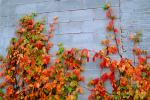 Ivy, fall colors, Autumn, Vegetation, Flora, Plants, Wall, Exterior, Outdoors, Outside, CMMV01P06_07.0897