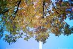 The Gateway Arch, looking-up, tree, autumn, CMMV01P15_13